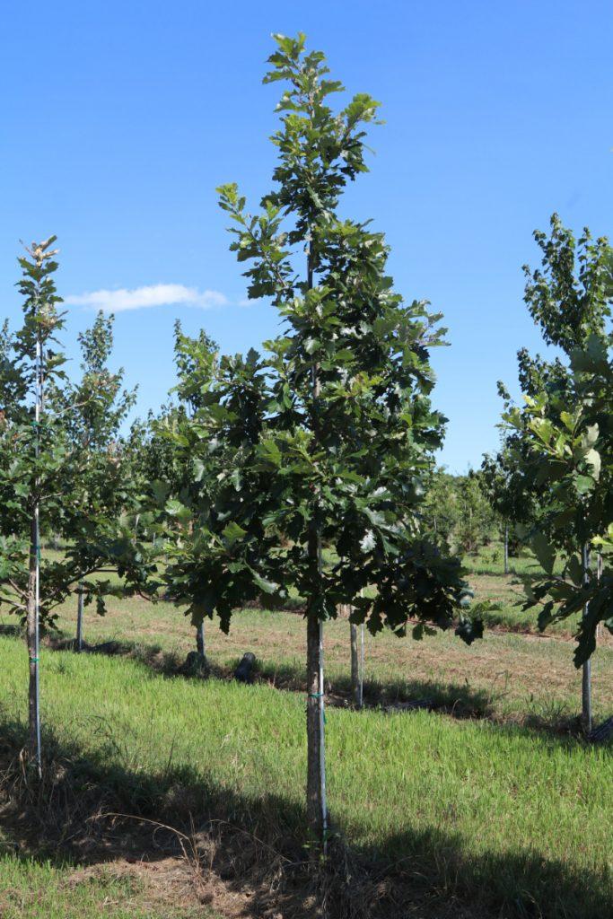 Quercus bicolor; 2½ in