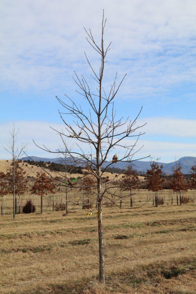 Quercus bicolor; 3 in