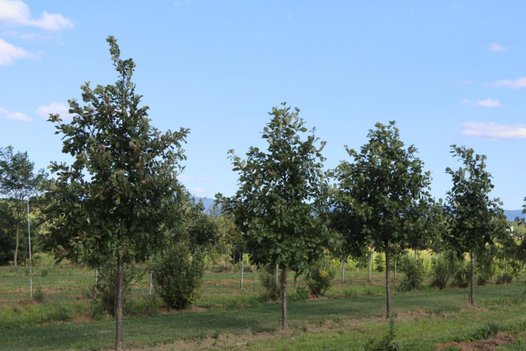 Quercus bicolor; 3 in, row