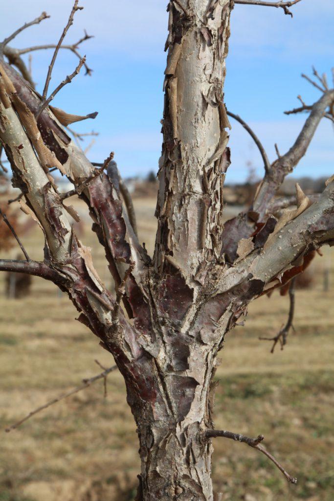 Quercus bicolor, bark detail