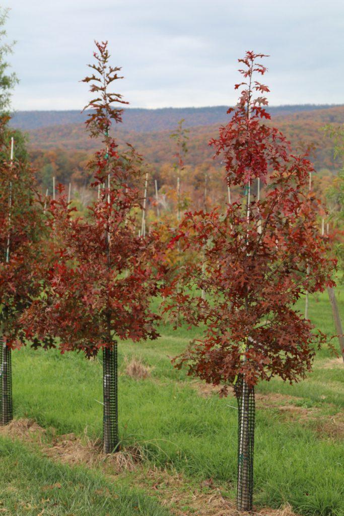 Quercus coccinea; 1½ in