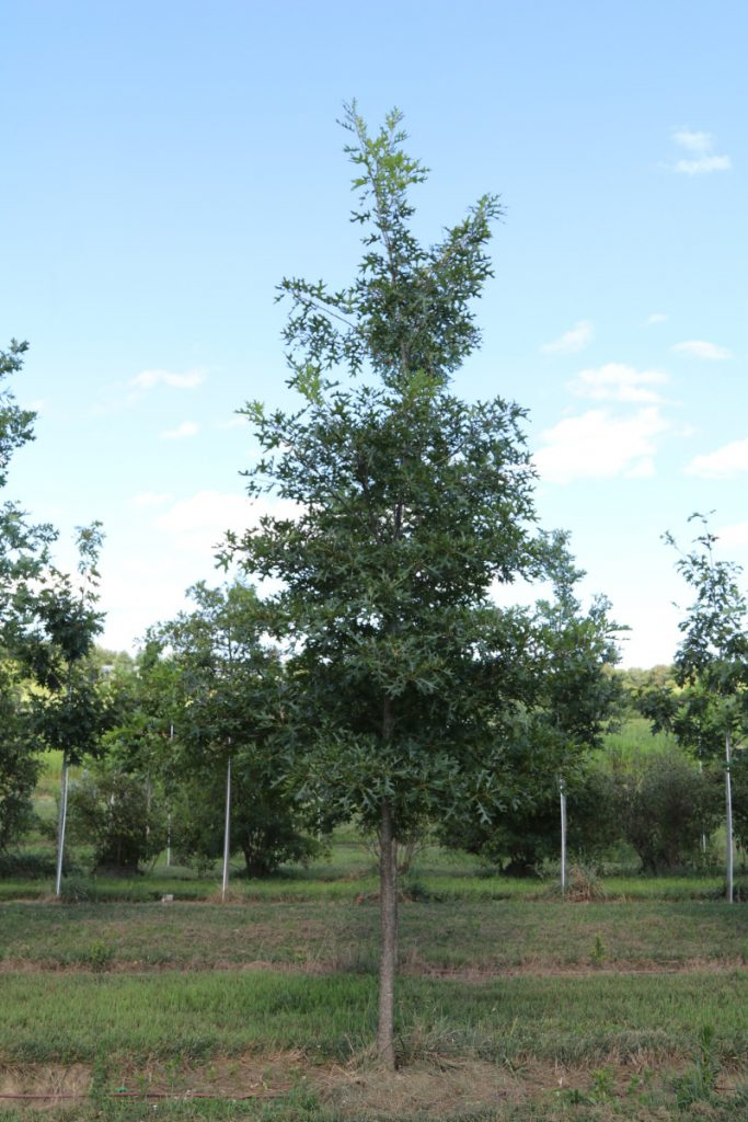 Quercus coccinea; 3 in