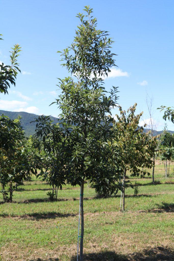 Quercus imbricaria; 2 in