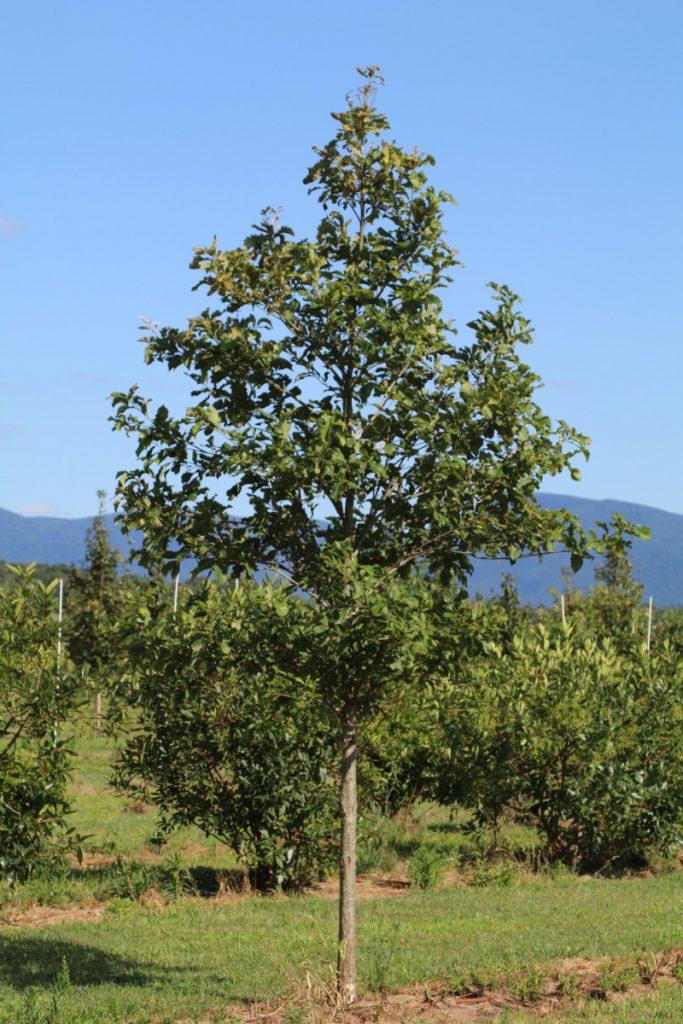 Quercus michauxii; 3 in