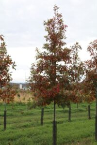 "Quercus palustris; 2"", fall color."