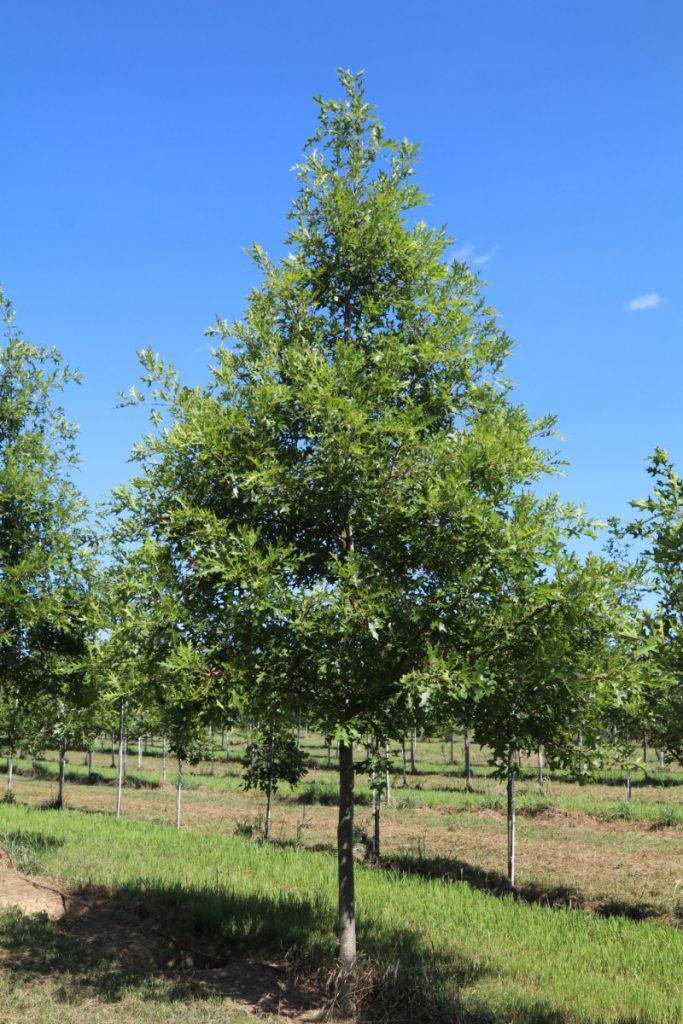 Quercus palustris; 3½ in