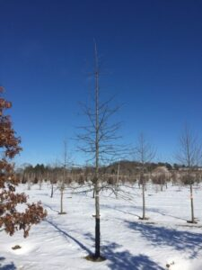 "Quercus palustris; 3½"", in winter."