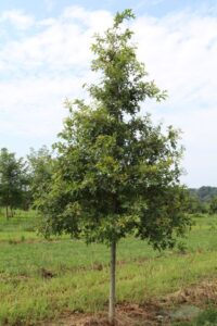 Quercus palustris; 3""