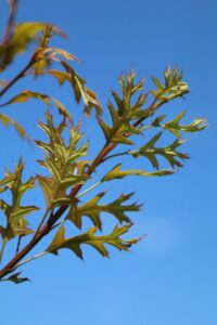 Quercus palustris; new growth detail.