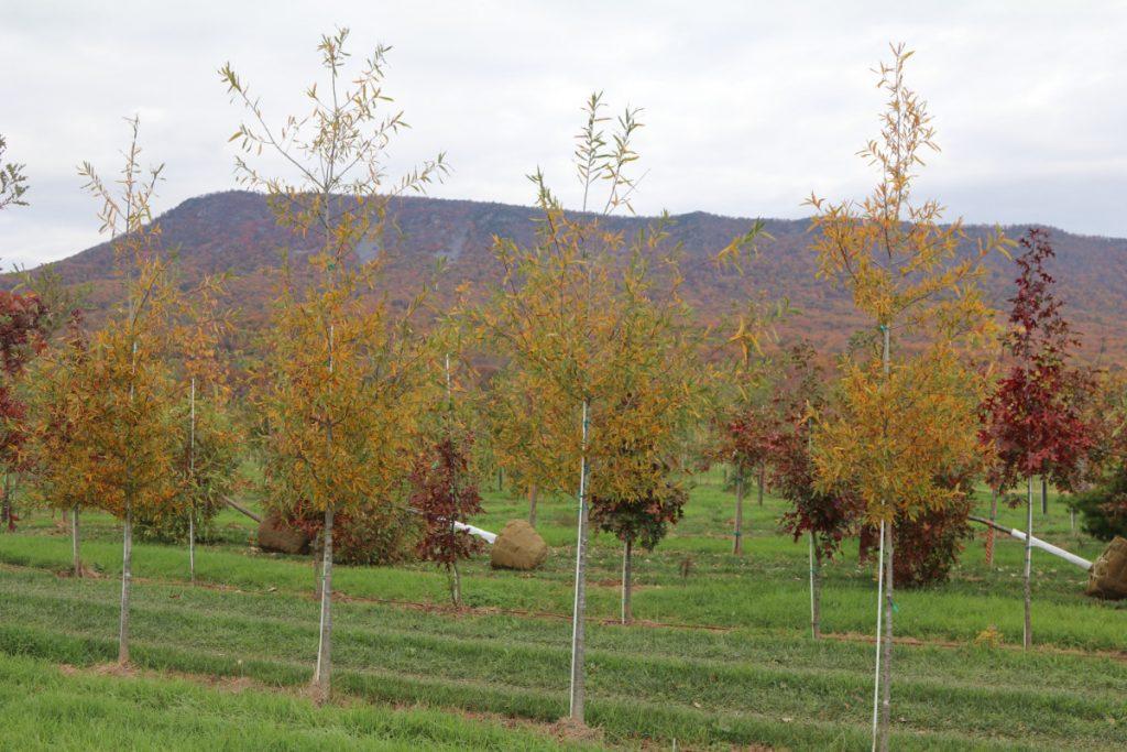 Quercus phellos; 2 in