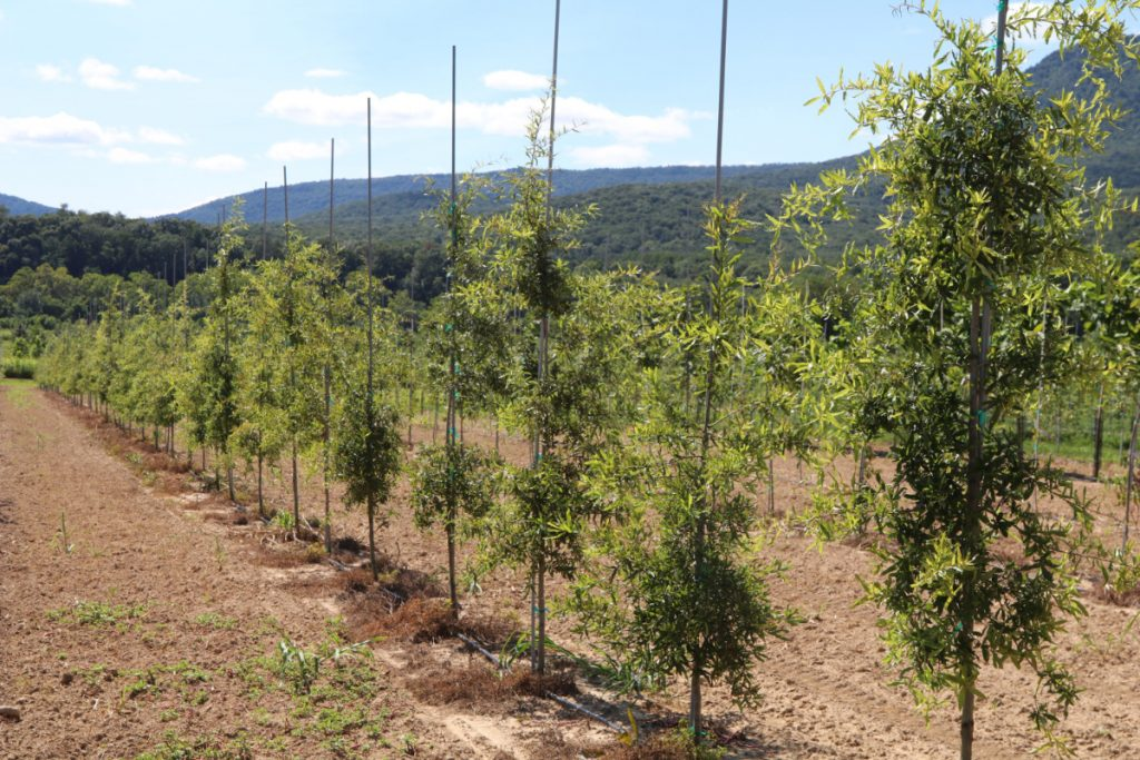 Quercus phellos; Spring 2017 liners