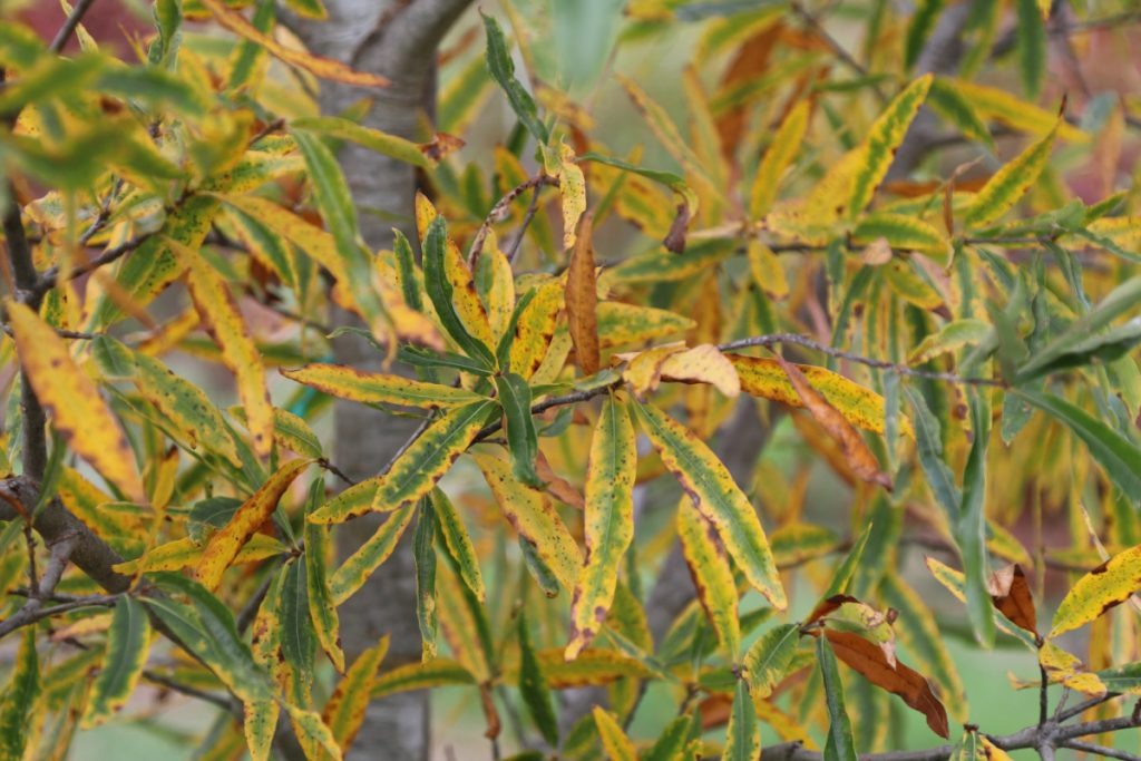 Quercus phellos, fall color