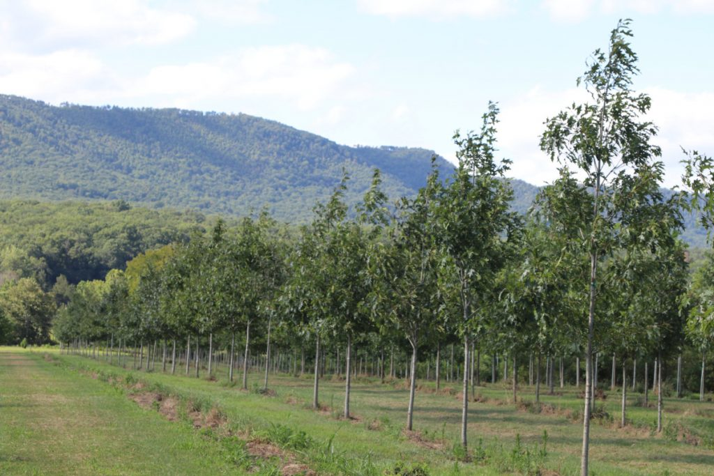 Quercus rubra; 2½-3½ in