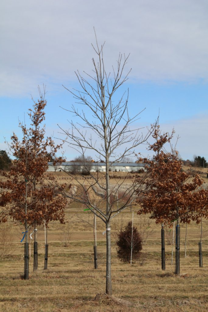 Quercus rubra; 3½ in