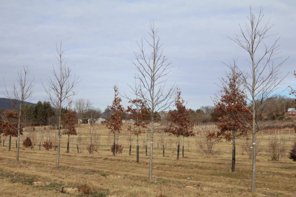 Quercus rubra; 3½ in, block