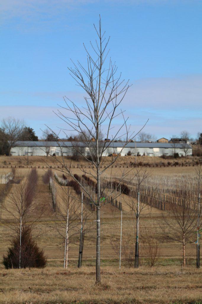 Quercus rubra; 3-3½ in