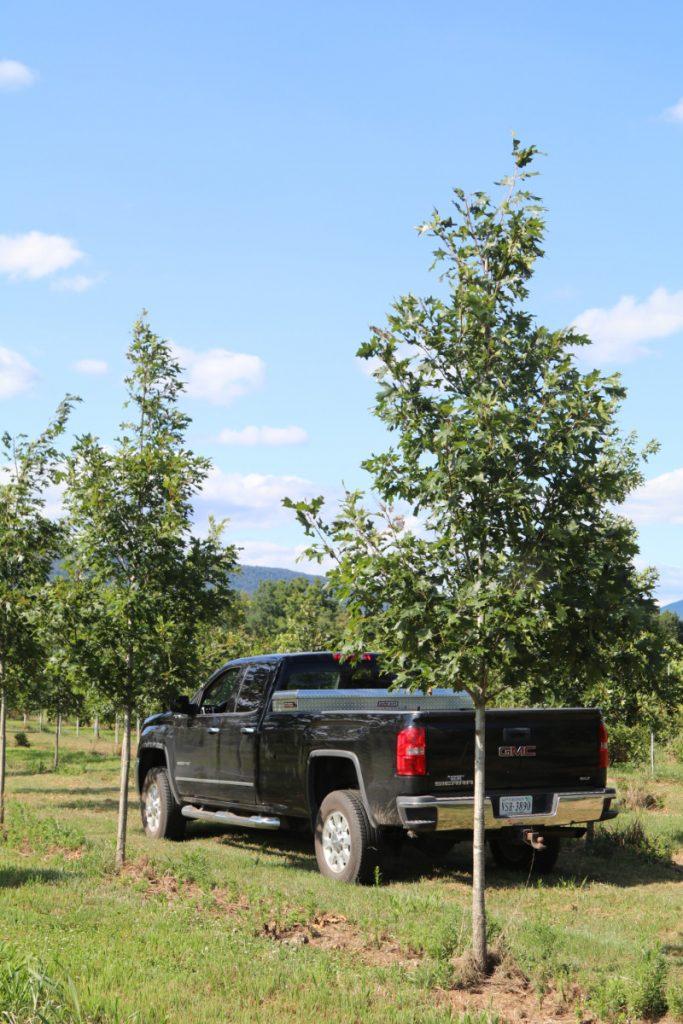Quercus rubra; 3 in