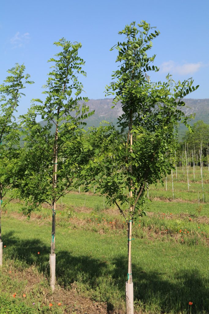 Robinia pseudoacacia; 2 in