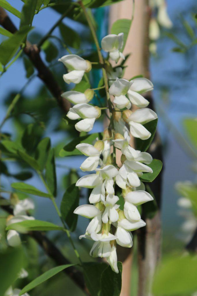 Robinia pseudoacacia, bloom