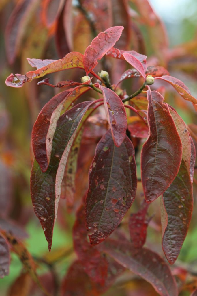 Sassafras albidum, fall color