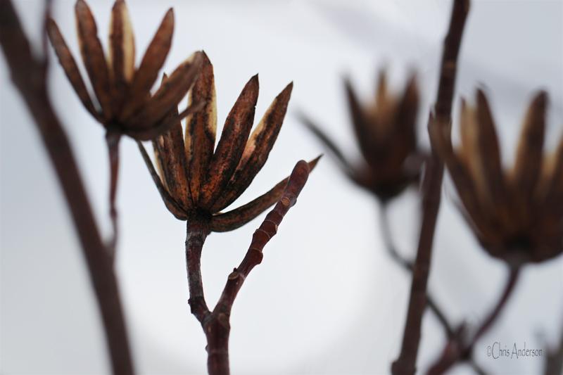 Tulip Poplar Seeds rswk