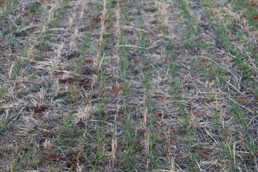 Winter rye (Secale cereale) as a cover crop
