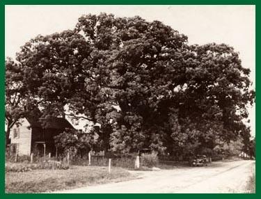 Negative #356086. http://www.nativetreesociety.org/historic/memorium/wye_oak_maryland.htm